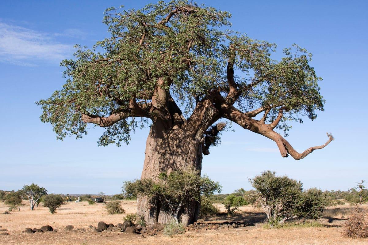 Baobabs - Affenbrotbaum In Voller Bracht