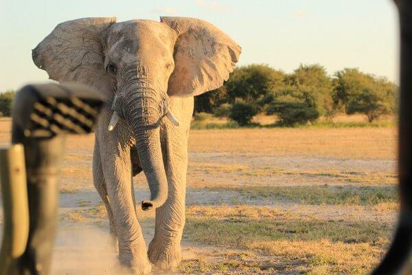 Botswana Nxai Pan Elefant Auf Safari