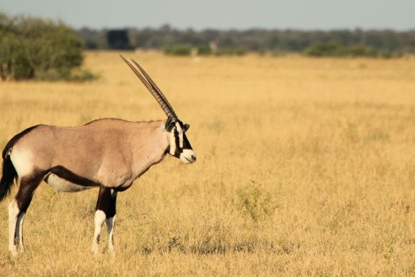 Oryxantilope Im Nxai Pan Nationalpark