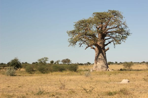 Baobab Im Nxai Pan Nationalpark