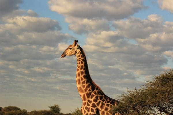 Giraffe Im Nxai Pan Nationalpark