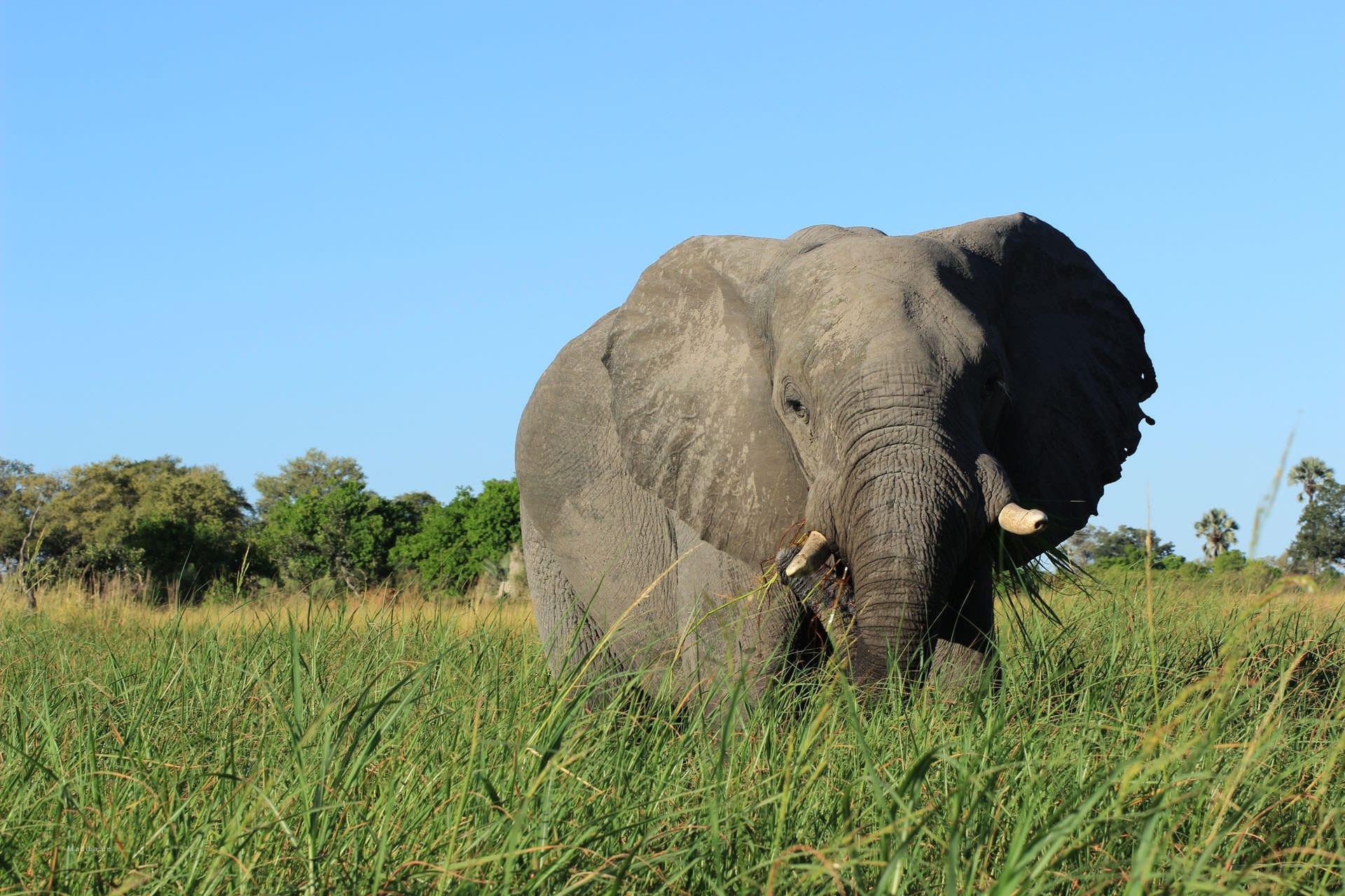 Elefant im Schilf im Okvango Delta
