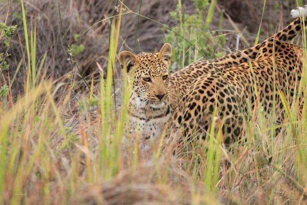 Leoparden Im Okavango Delta