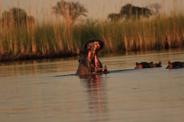 Nilpferd Brüllt Im Okavango Delta