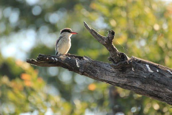 Vogel Auf Ast Im Okavango Delta