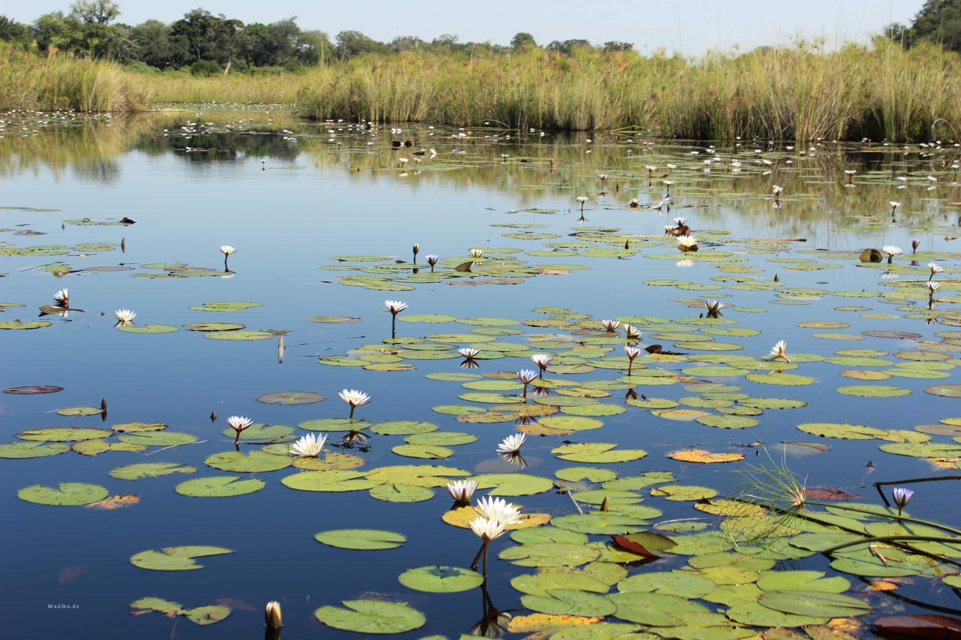 Wasserlilien Im Okvango Delta
