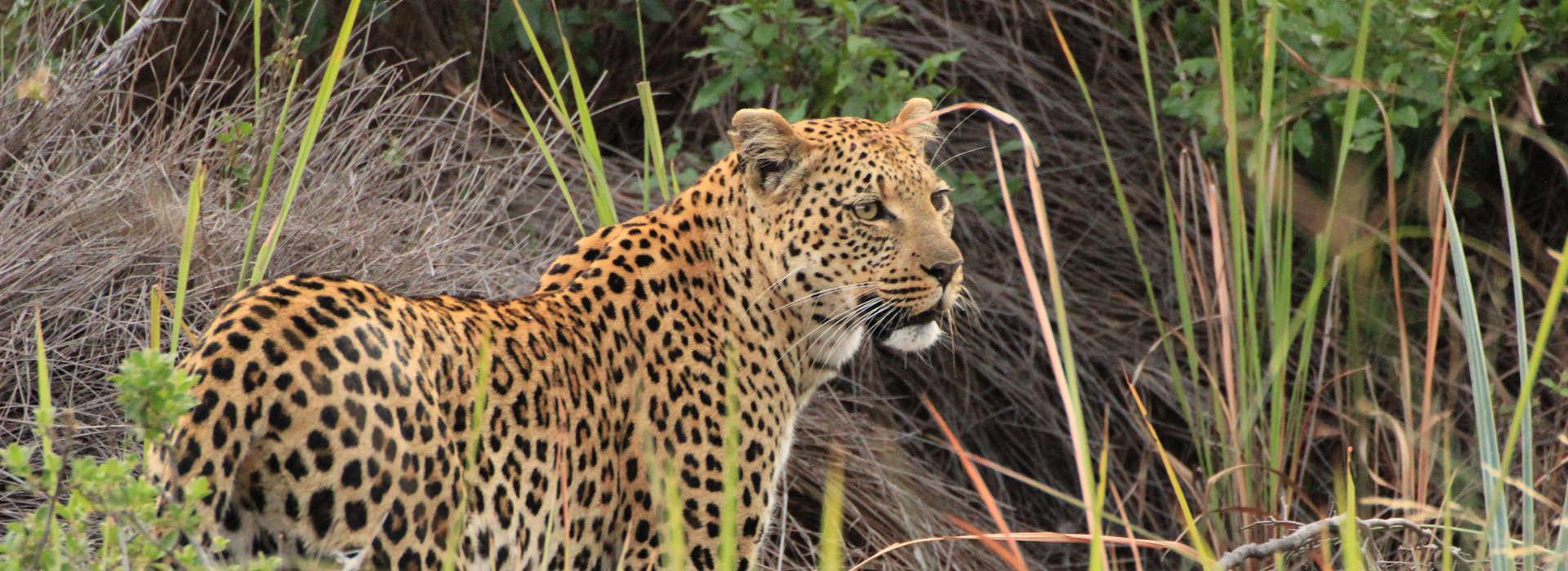 Leopard im Okavango Delta