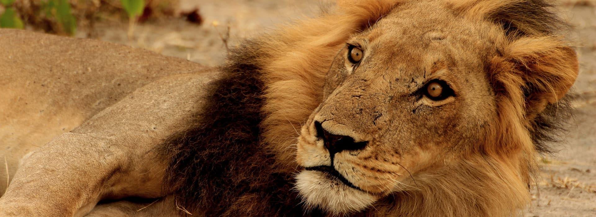 Männlicher Löwe schaut in Kamera