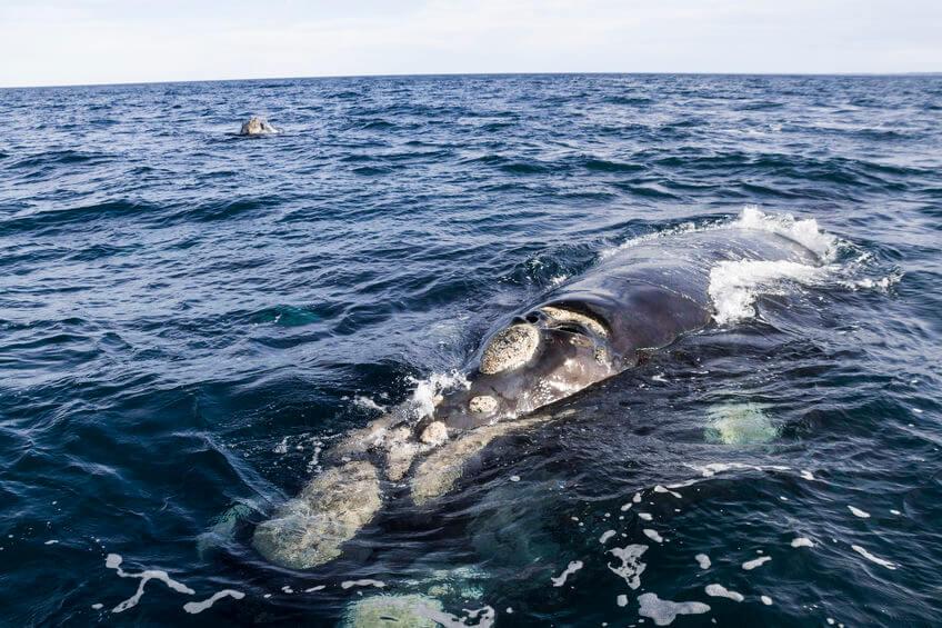 Buckel eines Buckelwals im Detail