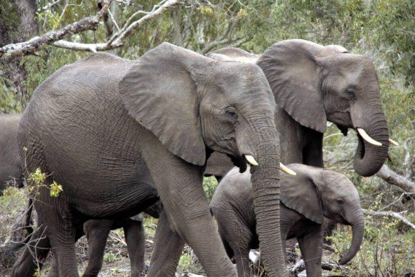 Elefantenherde mit Jungtier in der Mitte