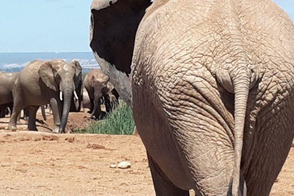 Elefantenherde Mit Dem Hintern Eines Elefanten In Großaufnahme