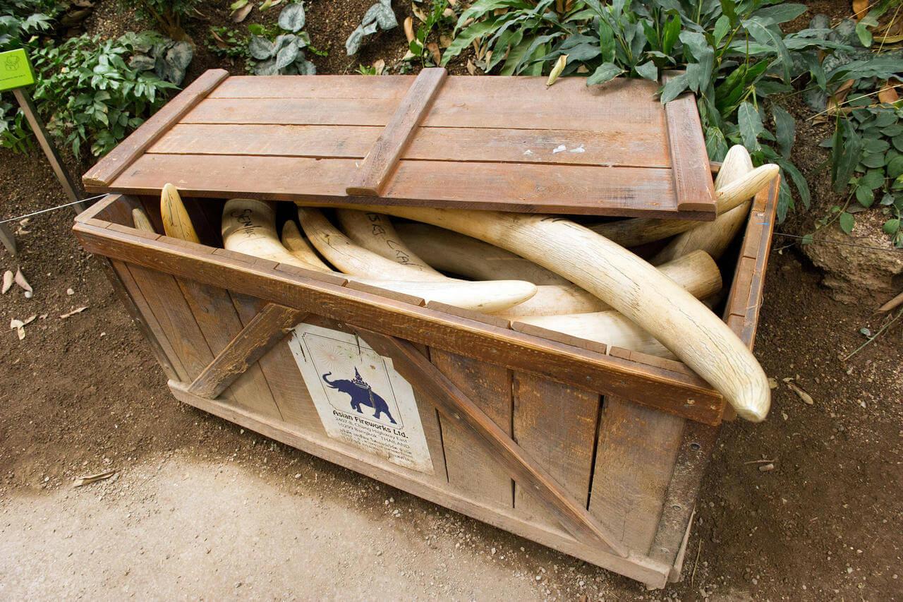 konfisziertes Elfenbein in einer Kiste