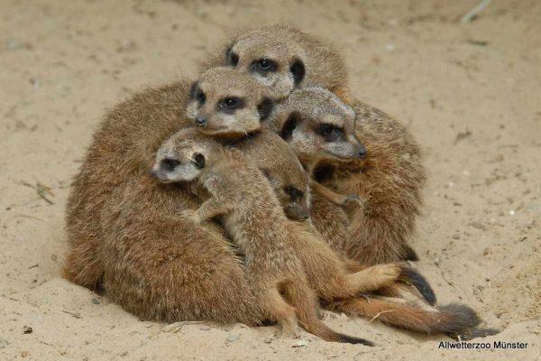 Erdmännchenfamilie Kuschelt