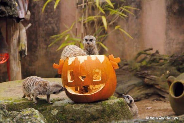 Erdmännchen Lieben Halloween