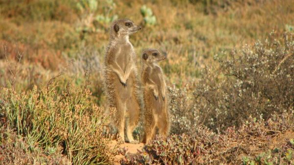 Zwei Erdmännchen auf Wachposten
