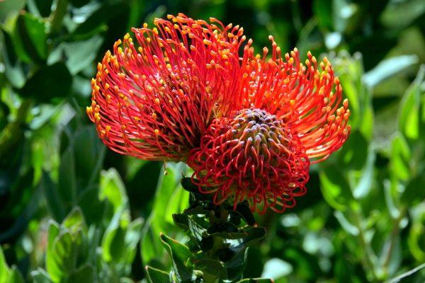 Fynbos Nadelkissen: Protea Blüte in Nahaufnahme