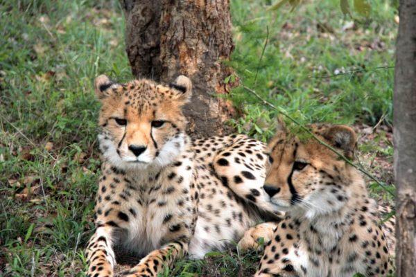 geparden-babies