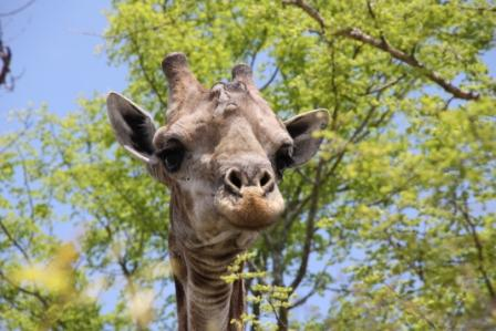Giraffe schaut direkt in die Kamera