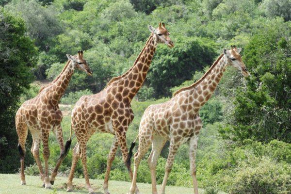 Giraffenfamilie Auf Der Pure Nature Lodge