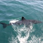 Weißer Hai Im Meer