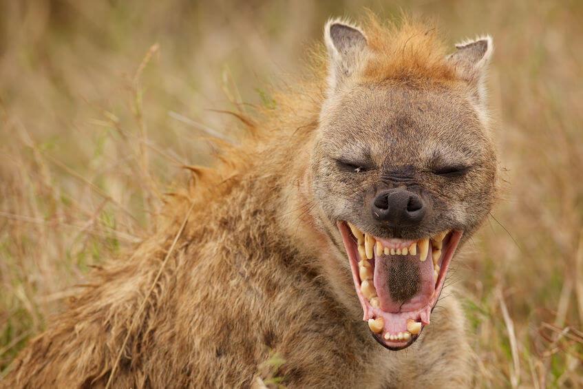 Hyäne Lacht Und Gebiss Ist Deutlich Zu Erkennen