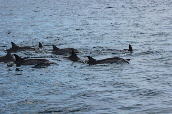 Spinner Delfinen Im Indischen Ozean