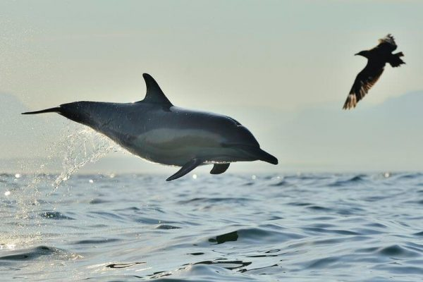 Langschnaeuziger-gemeiner-delfin-springt