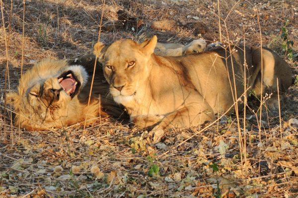 Löwenfamilie In Freier Wildbahn
