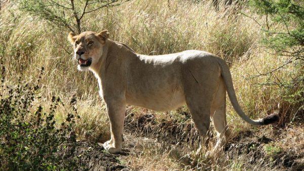 Löwin im Unterholz