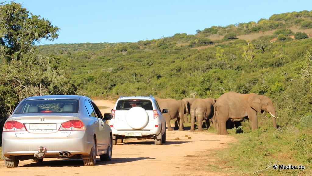 Mit dem Mietwagen an einer Elefantenherde vorbei fahren
