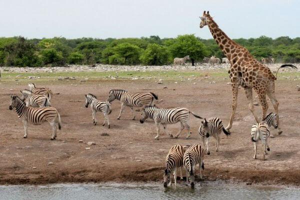 Tiere Am Wasserloch In Namibia