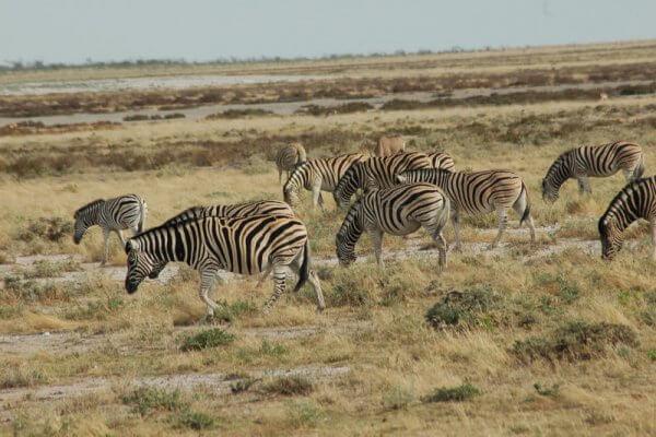 Zebraherde im Etosha Nationalpark