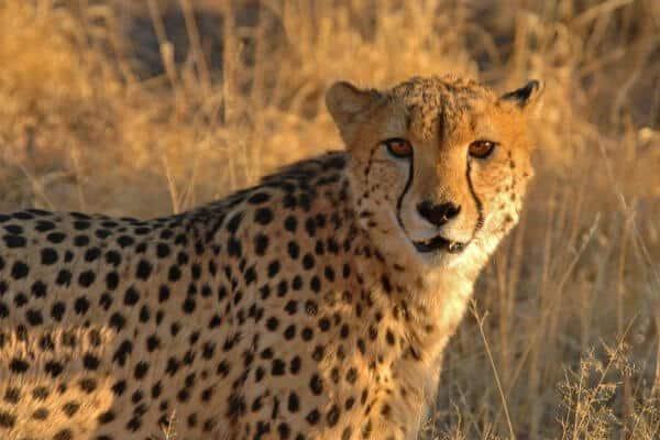 Gepard Schaut In Kamera
