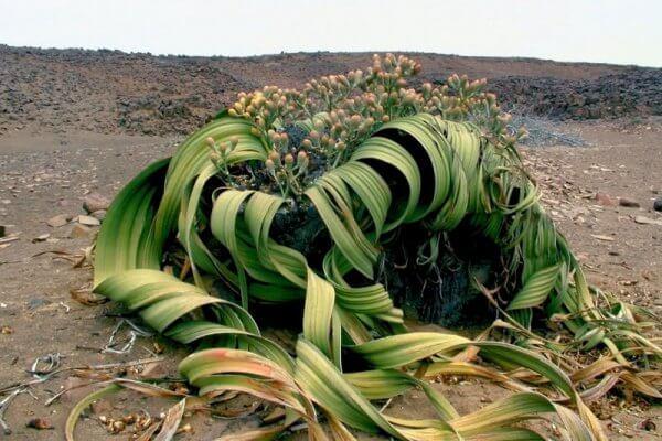 Welwitschia Mirabilis Blühend