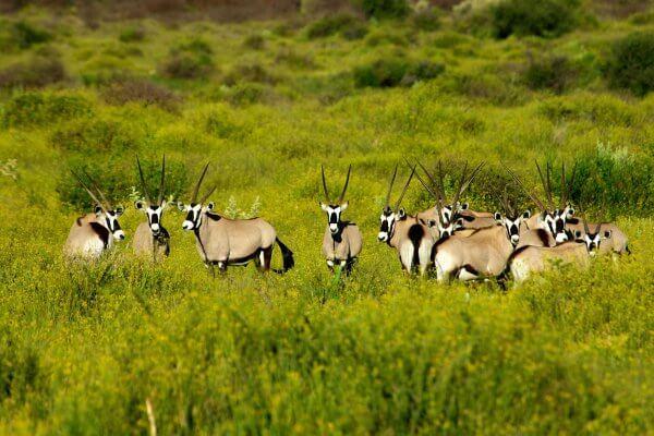 Oryx Im Waterberg Plateau Park In Namibia | Grüne Wiese