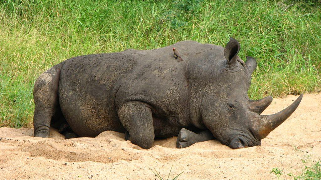 Nashorn liegt im Reservat