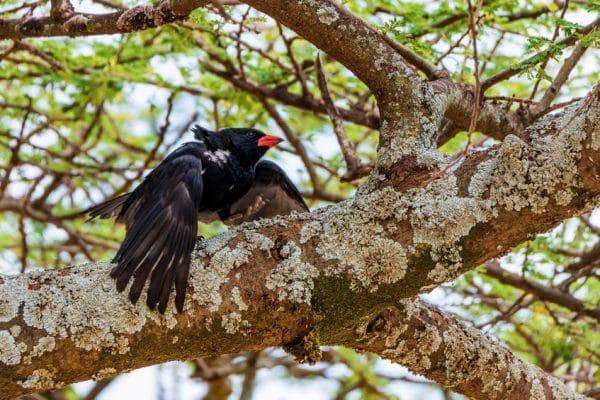 Red-billed Buffalo-weaver Standing On Tree Stump, Kruger National Park