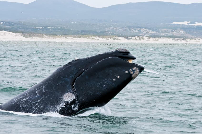 southern-right-whale