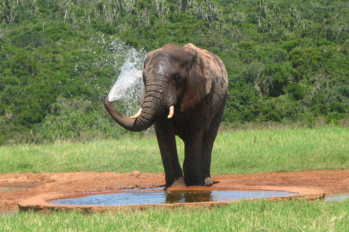 Elefant am Wasserloch nimmt Dusche
