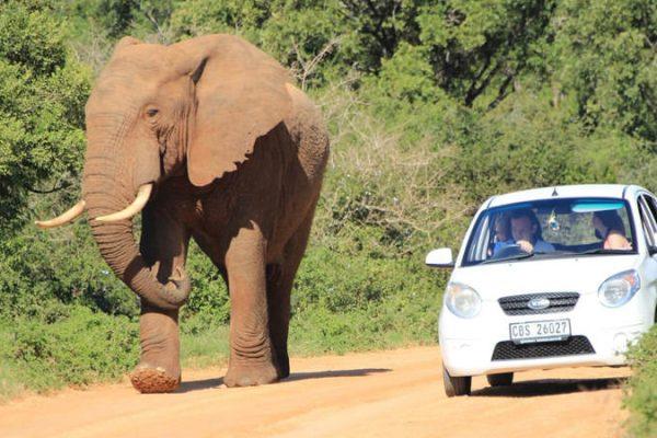 Mietwagen neben Elefant im Addo Park