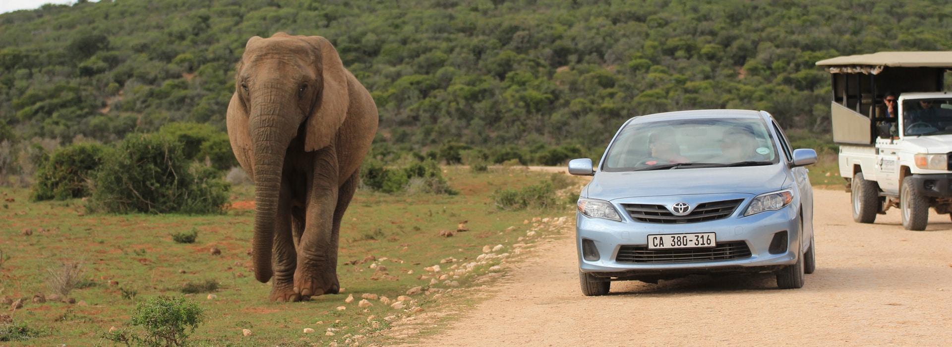 Elefant neben Mietwagen