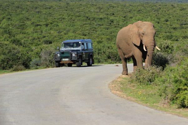Elefant Im Addo Neben Safari-Jeep