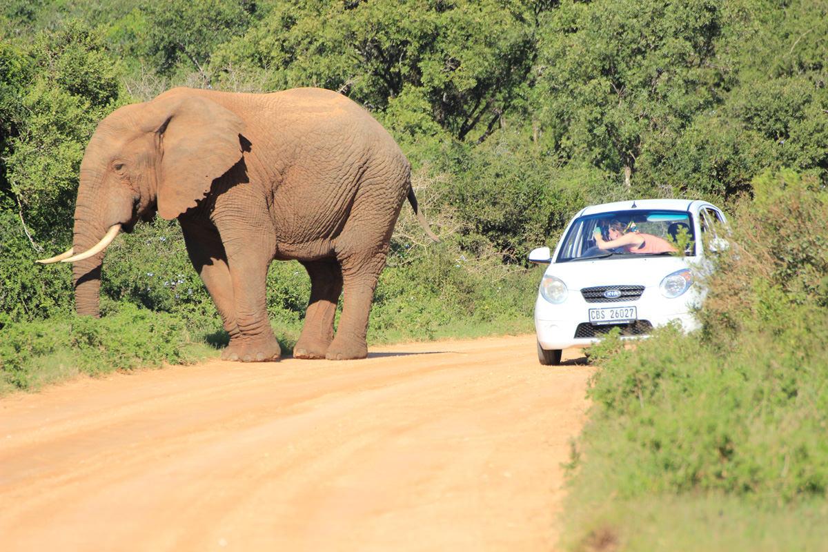 Elefant Im Addo Neben Touristen Im Auto