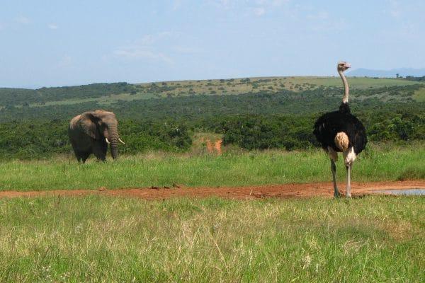 Elefant Und Strauß Auf Dem Weg Zum Wasserloch