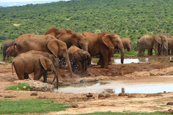 Elefanten Im Addo Spielen Am Wasserloch