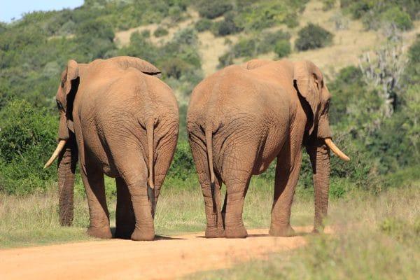 Elefanten In Addo Von Hinten