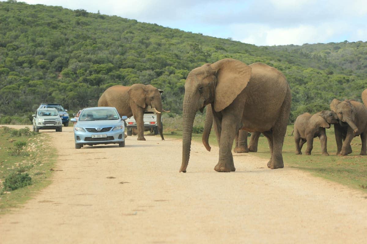 Elefantenherde zwischen Autos im Addo