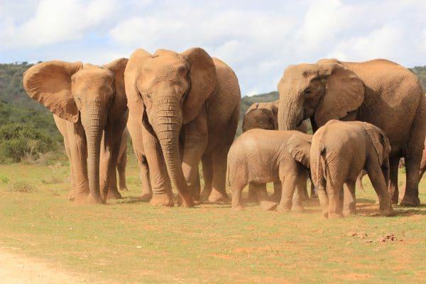 Elefantenherde Im Addo Mit Jungtieren