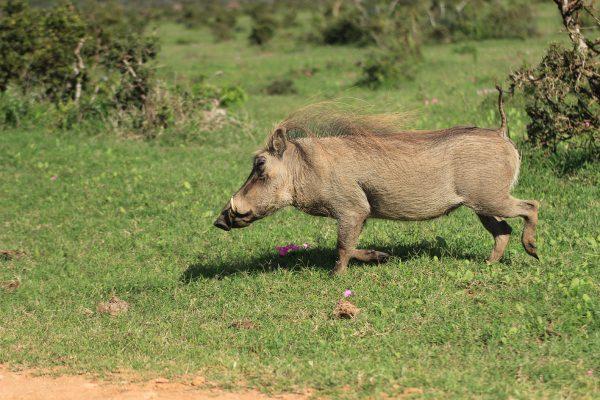 Warzenschwein Im Addo Park