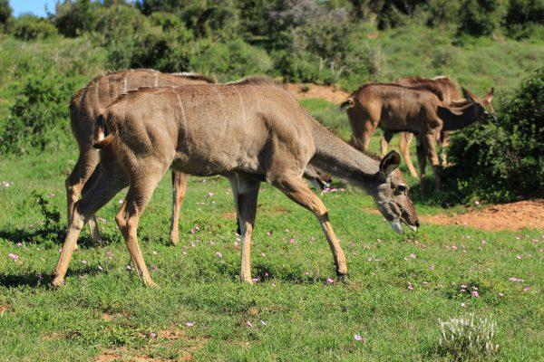 Weibliche Nyala Antilope Beim Grasen